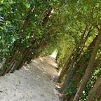 ⋆⸜ フクギのトンネル ⸝⋆  奄美 国直の集落にあるフクギ並木🌿 幸せのパワースポットと言われてる 場所です🕊 夫婦円満のご利益もあるよう…♡ 木と木の間から太陽の光が差し込んで とても素敵な場所でした( ⁎ᵕᴗᵕ⁎ ) 空港から車で1時間ほどかかりますが オススメな場所です🚗 ꒱ ꒱   #奄美大島