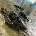 ⋆⸜ 奄美海洋展示館 ⸝⋆  ウミガメが見られるスポット𓆉 ꒱ ꒱  なんと ! ! なんと !! ウミガメに餌やりも出来るのです🤲🏻 夫婦揃って興奮してしまいました👩❤️👨  #奄美大島