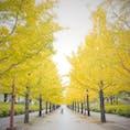2020年10月10日(土) あづま総合運動公園のイチョウ並木🌲 見頃には少し早いけど 少しずつ色付き始めてました✨ 夜間はライトアップもされて昼間とは また違った景色が見れるようです👀  #あづま総合運動公園 #イチョウ並木 #黄葉