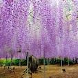 栃木県 足利市 足利フラワーパーク