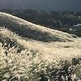 仙石原のススキ。一瞬、日が差した時に、ススキの穂が光って見えました。