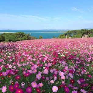 能古島アイランドパーク  秋桜🌸見頃です。