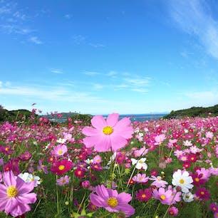 能古島アイランドパーク  コスモスが風でゆらゆらしているのを見ていると、とても癒される🌸✨