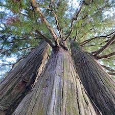 戸隠神社中社の三本杉、圧倒される大きさでした!しかし戸隠神社はどこも立派な杉の木が山盛りあるんだけど、春はどれだけ花粉飛ぶのだろうか…花粉症の人は、春の戸隠は避けた方が良さそうです。
