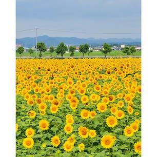 ☝︎ひまわりの丘公園  兵庫県小野市、一面のひまわりがきれい🌻