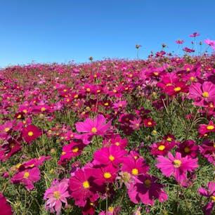 ひたち海浜公園のコキア紅葉の見頃はそろそろ終わりでしたが、コスモスは見頃のピークでした。鮮やかなコスモスは青空に映えるな〜