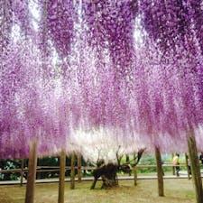 2017.5 北九州   河内藤園 GW真っ最中に訪れた藤園❁*·⑅ スケールの大きさと、藤の美しさに感動しました✿ᵕ̈*