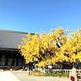 西本願寺の銀杏 逆さ銀杏   イチョウの木は高さ約12メートルで、幅は25メートルほど。枝が横長に伸びる様子が、空に向かって根を張っているようにも見え、「逆さイチョウ」の名で親しまれている。1985年には京都市の天然記念物に指定された。  #京都  #西本願寺 #サント芹沢鴨の写真