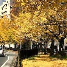 京都銀杏並木  11月中頃からが最高ですね、  #京都 #銀杏 #サント船長の写真