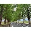 メタセコイヤ並木 #202011 #s滋賀