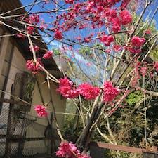台湾 南投県の霧社の紅い桜 あの映画を見た人ならお分かりでしょう
