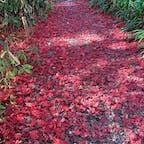 角館 武家屋敷通り  お屋敷の庭 もみじの絨毯でした