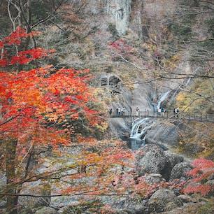 紅葉終わりかけの袋田の滝、モミジだけがまだ鮮やかでした。