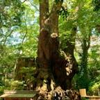 熱海 来宮神社⛩ 樹齢二千年の天然記念物 大楠。 一周回ると1年長生きできたり、願い事が叶ったりする伝説があるそう。 パワーもらいました🙏