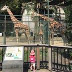 キリンの家族。年々リニューアルされてきれいな動物園、植物園まで回るとかなり広い。市街から近く便利。年パスがお得!#福岡 #福岡市動植物園 #2歳子連れ旅 2020.9月