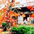 強羅公園🍁  11月下旬だとやっぱり少し旬過ぎちゃった感も あるけどそれでも綺麗!!✨ 次はもうちょい早くにも行ってみたい。