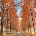 〰️Shiga🇯🇵〰️ #滋賀#マキノ高原#メタセコイヤ並木
