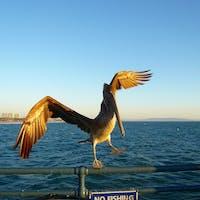 サンタモニカ(カリフォルニア)  欄干で風に煽られるペリカンと黄昏どきのサンタモニカ・ピアにて。  #california #santamonica