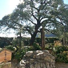熱海の海岸 お宮の松  「貫一・お宮の像」そして「お宮の松」は海岸の国道沿いにあり、観光写真スポットとして多くの人が訪れます。  #サント船長の写真