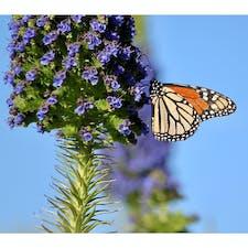 ピスモビーチ(カリフォルニア)  西海岸の秋冬の風物詩の一つ、モナーク(大樺班)の越冬。  カナダ・メキシコ間を渡り鳥のように大群で大移動する。旅の途中、Monarch Butterfly Grove(ユーカリと松の木の保護区)には、毎年11月〜2月頃にかけて1万羽以上が訪れ、閲覧注意なほどの鈴なりに。  南下する時は1代で、北上する時は3〜4代を跨いで世代交代をしながら縦断。幼虫の頃から毒を持っているため鳥などには襲われず、グライダーのように気流に乗って大陸を渡り切るそう。  群れを外れ、長旅で傷つき薄く色褪せた羽を、静かに休めている姿を見かけることも。  #pismobeach #california #monarch #butterfly