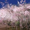 ◆縮景園(広島市中区) 4月上旬、満開の桜🌸