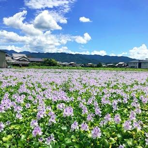 8月中旬にはホテイアオイが満開です。