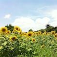 ◆備中国分寺ひまわり畑(総社市) 満開のひまわり越しに五重塔🌻 駐車場無料、近くに道の駅があるので併せて楽しめます◎