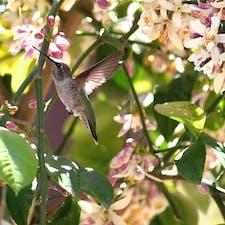 サンタバーバラ(カリフォルニア)  自然に近い環境で146種類、500匹以上の動物が飼育展示されている、サンタバーバラ動物園(Santa Barbara Zoo)。  レモンの花の蜜を吸いに来た、アナのハチドリ(Anna's hummingbird)。民家の庭先や公園などでもよく見かける種類。  #hummingbird #santabarbarazoo #california