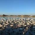 千葉県印西市にある白鳥の郷。 今の時季しかみられません。