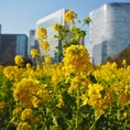菜の花シーズン🌼🌼🌼 都会のなかのオアシスっぽい🏙 #東京 #浜松町 #浜離宮