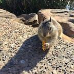 サンタバーバラ(カリフォルニア)  かぼちゃの種を食べる、カリフォルニア地リス(California Ground Squirrel)。前かがみで、ちょっと横着そう。  地面に穴を掘ってコロニーで生活をする、西海岸沿いに生息するリスの一種。敵から身を守るため常に周囲に警戒をし、立ち上がっては遠くを見つめ、時には叫び声をあげて、仲間に危険を知らせる習性がある。  市街の公園などで生まれ育つと、けっこう人間慣れしていて、餌を求めて寄って来ることが多い。  #santabarbara #california #squirrel