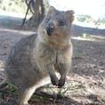 オーストラリアのパースで出会ったクオッカ。 癒されまくり、、、