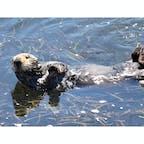 アヴィラビーチ(カリフォルニア)  アマモ(eelgrass)のベッドで日向ぼっこをする、カリフォルニア・ラッコ。アヴィラビーチにて。  毛皮交易時代を経て、カリフォルニア州では絶滅したと考えられていたラッコは、1913年に州の完全保護下に。北部で小さな群れが見つかって以来、徐々に生息数が回復。1977年には国の絶滅危惧種に指定され、近年では3000頭前後を推移しているよう。  海上への石油流出や鮫による被害などの他に、沿岸で汚染物質や病原体が発生した際にも最初に危険が及ぶことが多いため、人間にとってはラッコの状態から、何が起こっているかを知る手がかりも得られるそう。  アマモは、先住民族のセリ族が食用として採集していた海藻で、ラッコのおかげで西海岸沿いのアマモ、ウニ、海底の土壌の生態系も保たれている。  のほほんと好きなだけ魚介類を食べて寝ている、無邪気な生き物に見えつつ、日々さまざまな危険に晒されながら、自然の生態系や人間社会にも貢献していることを改めて知る。  #avilabeach #california #seaotter