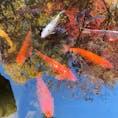 2020年秋 東京都杉並区太田黒公園内 池の鯉