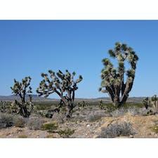 バーストウ(カリフォルニア)  荒涼とした渇いた空気の中に、凛とした趣のある姿が印象的なジョシュア・ツリー。  モハビ国立自然保護区(Mojave National Preserve)にて。モハビ砂漠の一部で、デスバレーとジョシュア国立公園の間に位置する。  ジョシュア・ツリーは、アガヴェ(リュウゼツラン)の仲間の植物で、先住民族は葉をバスケットやサンダルなどの日用品に、花の蕾や実、種は食料として利用価値を見出した。  19世紀の半ば、コロラド川を渡ってこの地にモルモン教徒が移り住んで来た。伝説によると、この木の枝ぶりが、旅人たちを西へと導くよう手を大きく広げて懇願する、聖書に出てくる登場人物ヨシュアの姿に似ていたことから、彼らがそう名付けたそう。  9月〜12月に上手く受粉し、冬の雨と暖かい春の兆しに恵まれれば茎が伸びて、2月〜4月に淡い黄緑がかった白い花を咲かせるけれど、気象条件によるので、見られればラッキーなのだとか。  保護区内ではキャンピングができる他、許可を得てのウェディング・フォト撮影や、マラソン大会なども行われる機会があるよう。  星空の下のテントは、砂漠の天体ショーの特等席。満天の星降る夜は、どんな夢が見られるのだろう。  #barstow #california #joshuatree