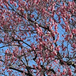 梅の季節 京王百草園