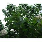 台湾 三義の油桐花(アブラギリ)  この花びらが一面に落ちている様子は雪のようなので四月雪とも言われる