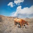 阿蘇山の赤牛  #阿蘇山 #赤牛 #熊本県