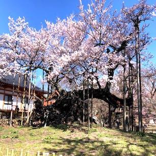 山高神代桜(日本三大桜) 神代桜は、山梨県北杜市武川町山高の実相寺境内にあるエドヒガンザクラの老木である。国指定の天然記念物であり、天然記念物としての名称は山高神代ザクラである。  #サント船長の写真 #サントの桜巡り #日本三大桜