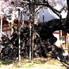 山高神代桜(日本三大桜)  桜の木とは関係有りませんが、此の時事故が起こりました。 2020年3月25日昼前です。 神代桜を撮影中に私の大切なiPhoneXが手から滑り落ち画面が割れてしまいました。 桜の🌸では有りませんが、iPhoneXも散ってしまいました(泣)  #サント船長の写真 #サントの桜巡り #日本三大桜