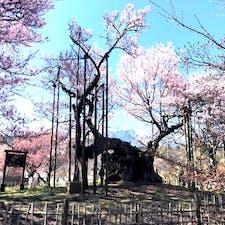 山高神代桜(日本三大桜) 武川町の実相寺境内にそびえる、 福島県の三春滝桜・ 岐阜県の淡墨桜と並ぶ 日本三大桜の一つです。 推定樹齢1,800年とも2,000年とも言われるエドヒガンザクラ、 その想像を絶する悠久の時を超えて咲き続けるさまは、神々しく、 見る人は思わず手を合わせるとも言われ、全国の桜を愛でる人たちの崇敬を集めてきました。 樹高10.3m、根元・幹周り11.8mもあり、日本で最古・最大級の巨木として、 大正時代に国指定天然記念物第1号となりました。 また、平成2年には「新日本名木百選」にも選定されています。  #サント船長の写真 #サントの桜巡り #日本三大桜