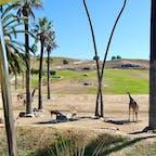 サンディエゴ(カリフォルニア)  きりん、オリックス、アンテロープ。  オープンカーのトロッコで園内を回りながら、動物たちとご対面。  サンディエゴ郊外にある、サンディエゴ動物園・サファリパーク(San Diego Zoo Safari Park)にて。  #sandiego #safaripark #california