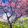 #河津桜 #河津 #河津町