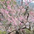 京都市山科区小野 「随心院」  梅がちょろっと咲いてました  (''21/03/17)  #京都 #随心院 #梅
