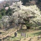 樽見の大ザクラ 樽見の大ザクラとは、兵庫県養父市大屋町樽見にあるエドヒガンの一本桜。「仙人の桜」の意味で別名「仙桜」とも呼ばれ、国の天然記念物に指定されている。 #サント船長の写真 #サントの桜巡り
