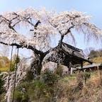 地蔵院の枝垂れ桜 京都府宇治市井出町の地蔵院の枝垂れ桜  私は、一本桜が好きで遠くは栃木県の神代桜まで行きました、2021年は福島県の三春滝を見に行く予定です。 桜は咲いて居る期間が短く、雨が降れば終わりです。 2021年の桜巡りはどうかなぁ?  #サント船長の写真 #サントの桜巡り