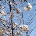 今年の初桜。 菅原硝子に行った時に。
