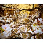 #桜 #お花見 #目黒川
