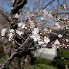 . 茂原公園の桜 思ったより咲いてて 綺麗だった〜🌸  #お花見 #千葉