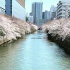 目黒川🌸  #目黒川#桜#お花見#🌸